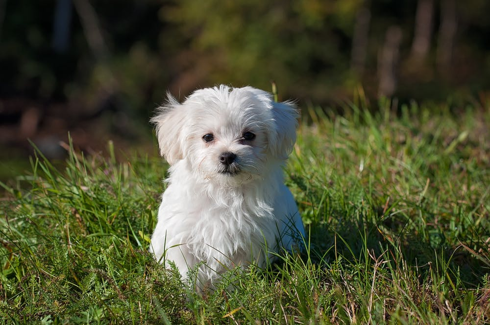 small-dog-maltese